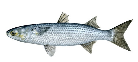striped-mullet